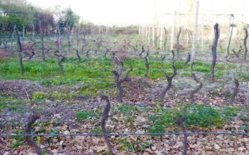 En Mendoza se concentra el 70 por ciento de los viñedos finos del país y su producción anual bordea los 10 millones de hectolitros. La ciudad está ubicada al pie de la cordillera de los Andes. (Ryne Sánchez)